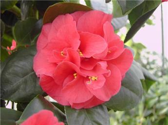 Camellia japonica Campbelli 5 ans C4