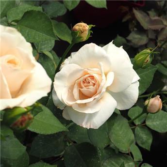 Rosier Princesse Astrid de Belgique® Pot ** Parfumé **