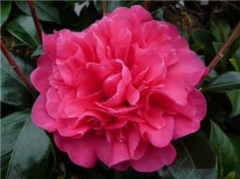 Camellia japonica Anticipation 5 ans C4