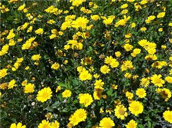 Chrysantheme des moissons jaune (VT)