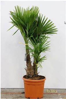 Trachycarpus Fortunei Pot P45 Ht 220 250 cm 2 troncs