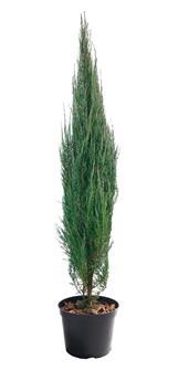 Juniperus scopulorum Blue Arrow 50 60 cm Pot C3L