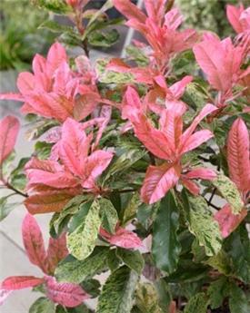 Photinia serratifolia Pink Crispy 40 60 cm Pot C2L