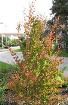 Cercidiphyllum japonicum 175 200 cm Pot C18 ** Arbre à caramel **