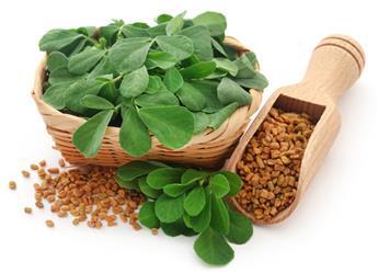 Trigonella foenum-graecum Pot C 1.5 ** Fenugrec **