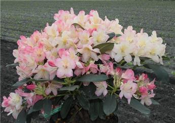 Rhododendron yakushimanum Percy Wiseman 40 60 cm Pot P23