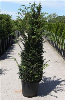 Taxus baccata 150 175 Pot ** Plante XL ** Se plante toute l´année