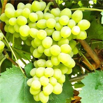 Vitis vinifera Angela Pot C3 ** Très résistante aux maladies et au froid **