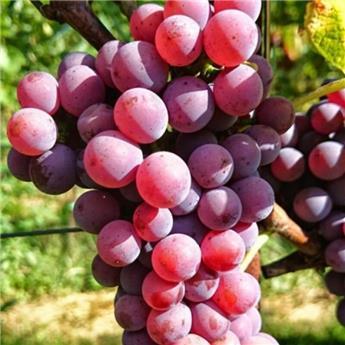 Vitis vinifera Souvignier Gris Pot C3 ** Très résistante aux maladies et au froid **