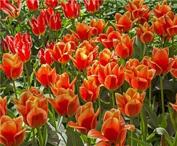 Tulipe Calypso * 7 pc cal.11/12