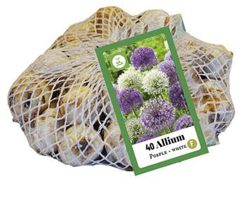 Allium giganteum Pourpre-Blanc * sac 40 pc cal.10/12