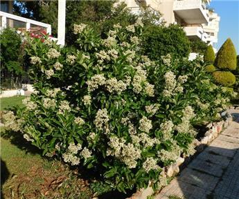 Viburnum lucidum 200 225 Pot C50 ** Parfumé **