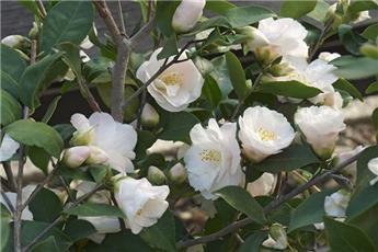 Camellia lutchuensis Spring Mist (blanc) Pot C15 9 ans ** Parfumé **