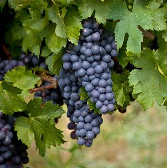 Vitis vinifera Erdbeer Traube Pot C3  ** Raisin Fraise ** Très résistante aux maladies et au froid **