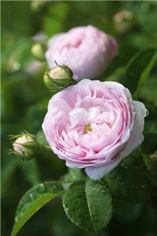 Rosier Duchesse de Montebello Pot **Très parfumé **