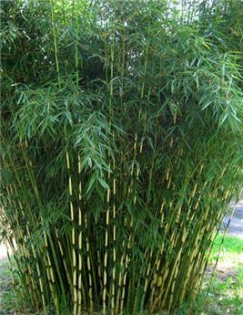 Fargesia robusta Campbell Pot C30 200 250 cm ** Non traçant **