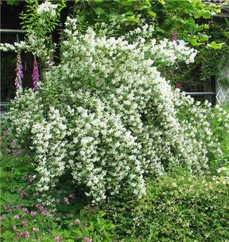 Philadelphus lemoinei Pot C3.5