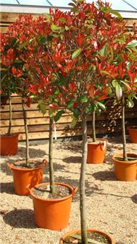 Photinia fraseri Little Red Robin Demi Tige Pot C15
