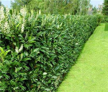 Prunus laurocerasus Caucasica 100 125 Pot C3.6 ** PROMOTION **