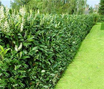 Prunus laurocerasus Genolia 125 150 Pot C10 ** Bien touffu et dense **