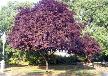 Prunus cerasifera Nigra (Pissardii) dt Pot