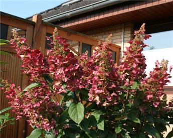 Hydrangea paniculata Wim s Red Pot 35