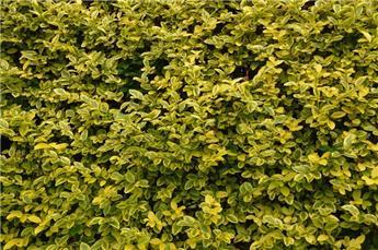 Ligustrum ovalifolium Aureum Touffe Forte Pot C3.5 60 80 cm ** Se plante toute l´annnée **