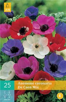Anemone coronaria de caen mi vj 6/7 x 25