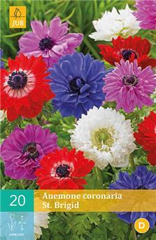 Anemone coronaria st. brigid vj 6/7 x 20