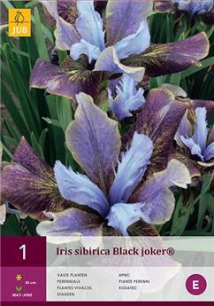 Iris sibirica black joker