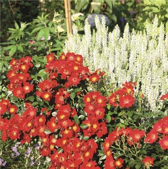 Bienenweide Red