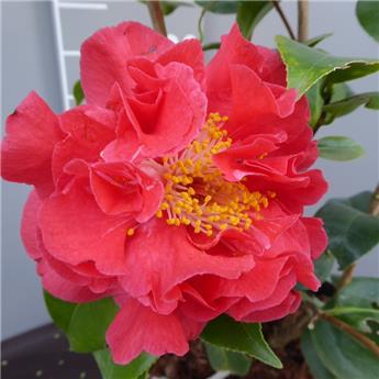 Camellia japonica Blood of China Pot C5