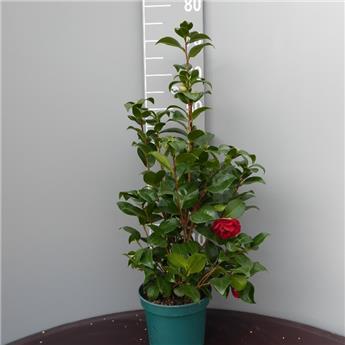 Camellia japonica Black Lace c3 60