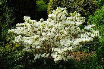 Azalea japonica Geisha White Pot C2
