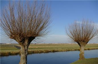 Salix Alba Liempde (Têtard) Ht 8 10 MG