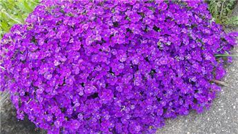 Aubretia kitte blue p13
