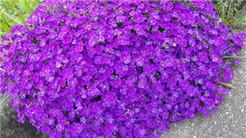 Aubrieta gracillis Kitte Blue Pot P13