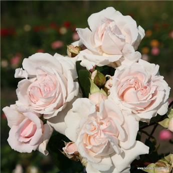 Rosier Constanze Mozart® (Syn. La belle Ferronière) Pot C5L **Parfumé / Résistant**