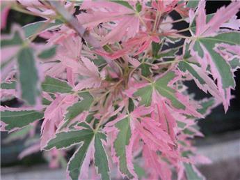 Acer palmatum Taylor Pot C14