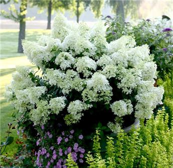 Hydrangea paniculata Bobo Pot C12L