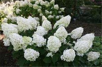 Hydrangea paniculata Silver Dollar Pot C7.5 XTRA