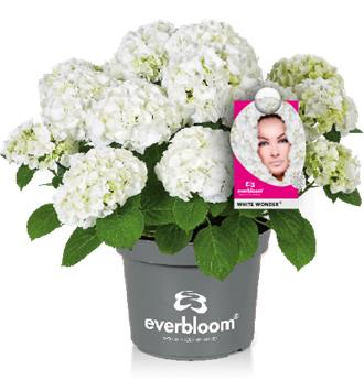 Hydrangea mac Joy of Wonder Rose Pot