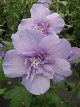 Hibiscus syriacus Blue Chiffon Pot C10
