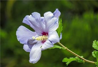 Hibiscus syriacus Oiseau Bleu tige 90