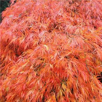 Acer palmatum Orangeola  125 Pot C35