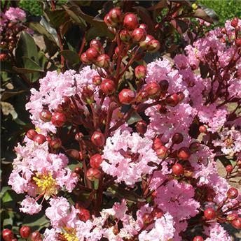 Lagerstroemia indica Rhapsody en Pink Pot C4