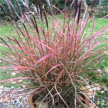 Miscanthus sinensis Red Chief Pot P29