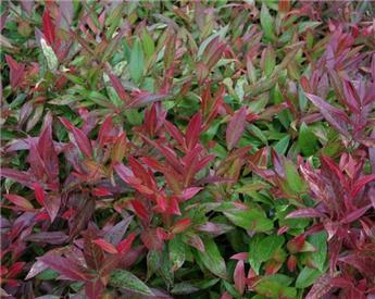 Leucothoe fontanesiana Scarletta Zeblid