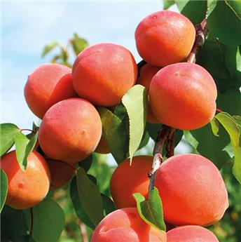 Abricotier Prunus armeniaca Tomcot® Buisson 100 125 Pot C5