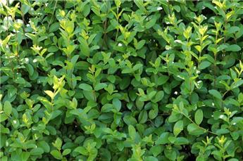 Ligustrum ovalifolium Touffe Forte Pot C3.5 60 80 cm ** Se plante toute l´annnée **